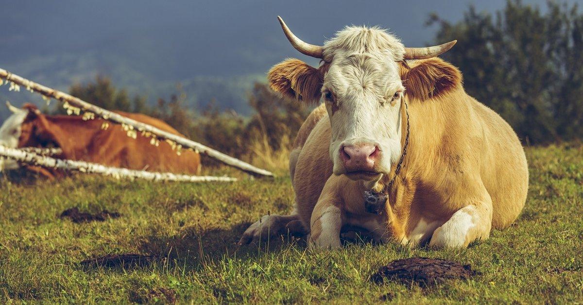 Коровий навоз. Готовим жидкое удобрение и перегной