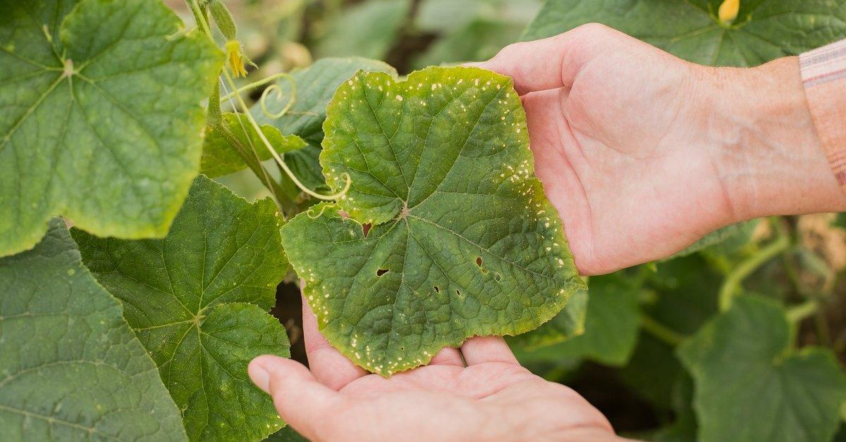 Пятна на листьях огурцов: причины заболевания растения