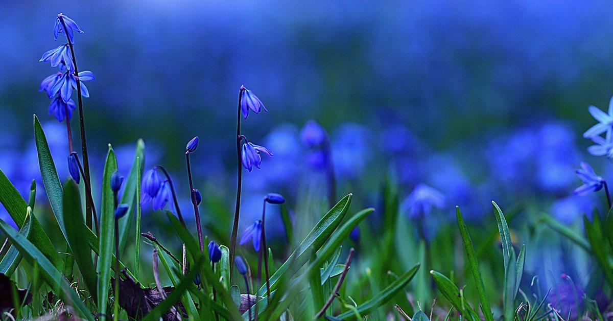 Синие цветы для клумбы