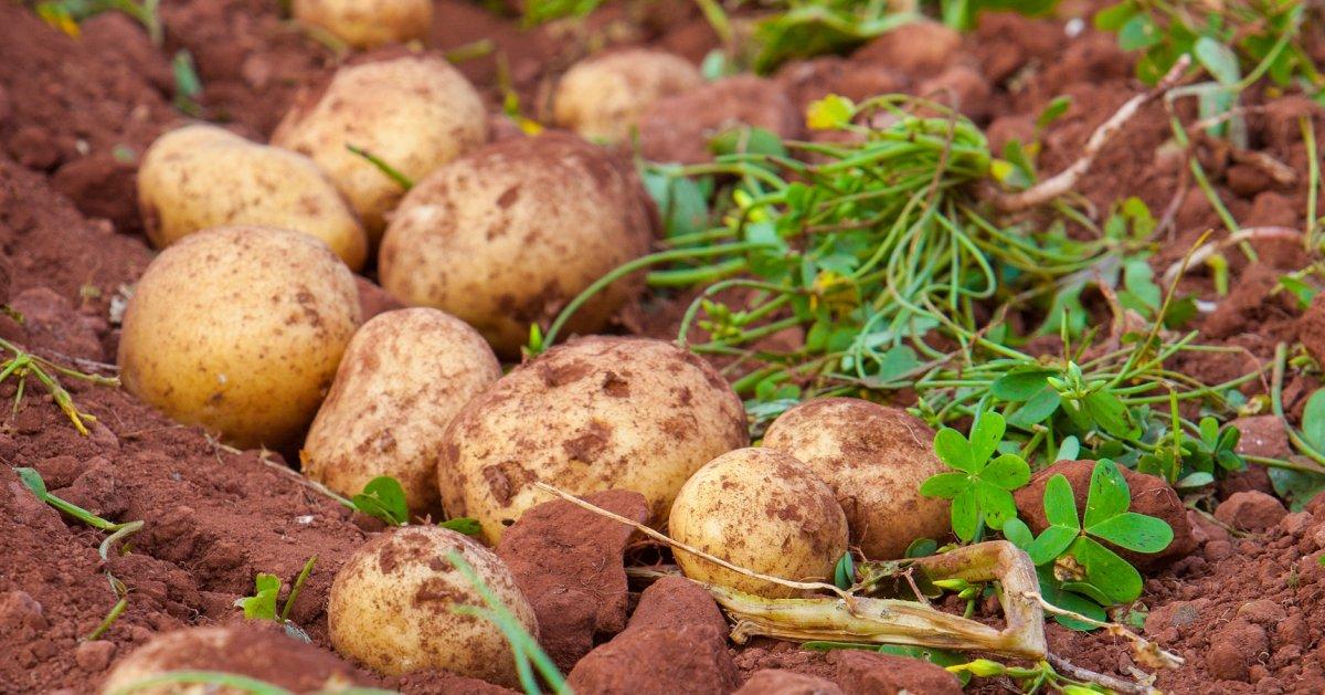 После чего можно сажать картофель на следующий год, как правильно подобрать культуру, что лучше не садить после картофеля