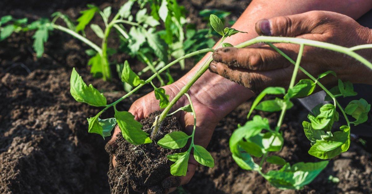 Что нужно делать с переросшей рассадой помидоров