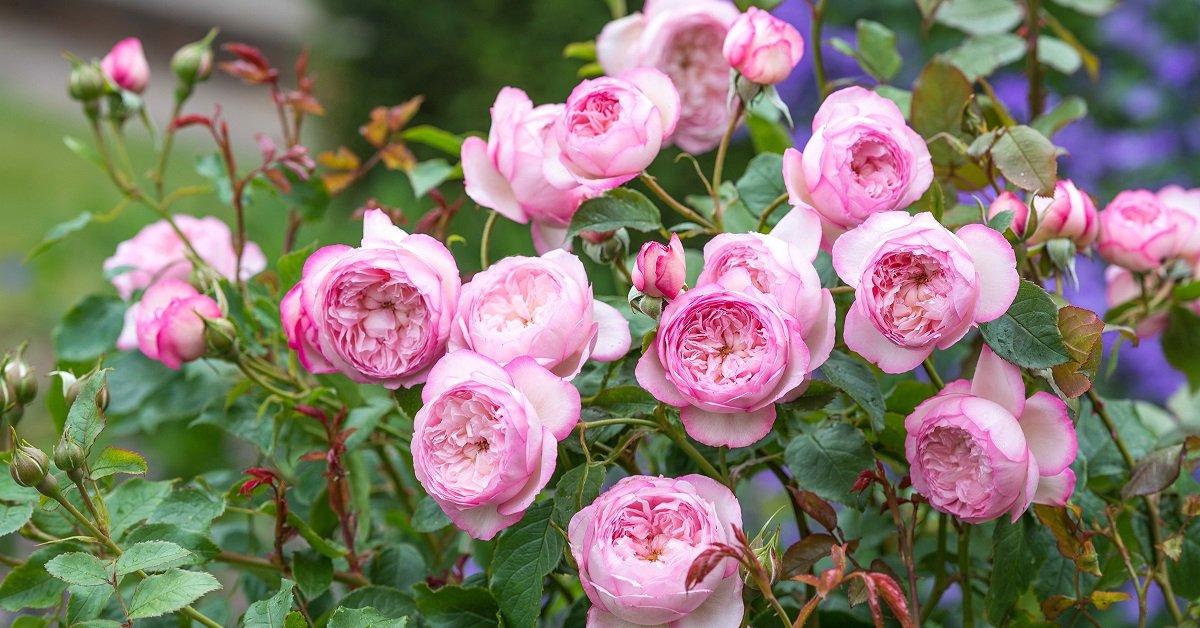 Желтые розы дэвида остина
