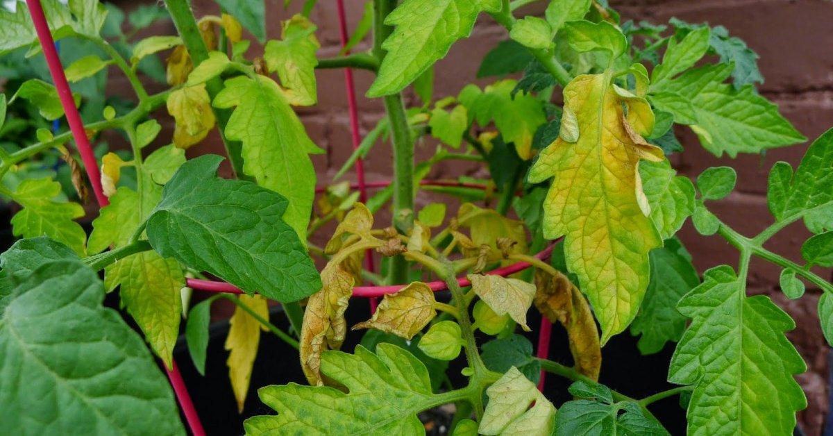 Почему в теплице у помидор скручиваются и желтеют листья