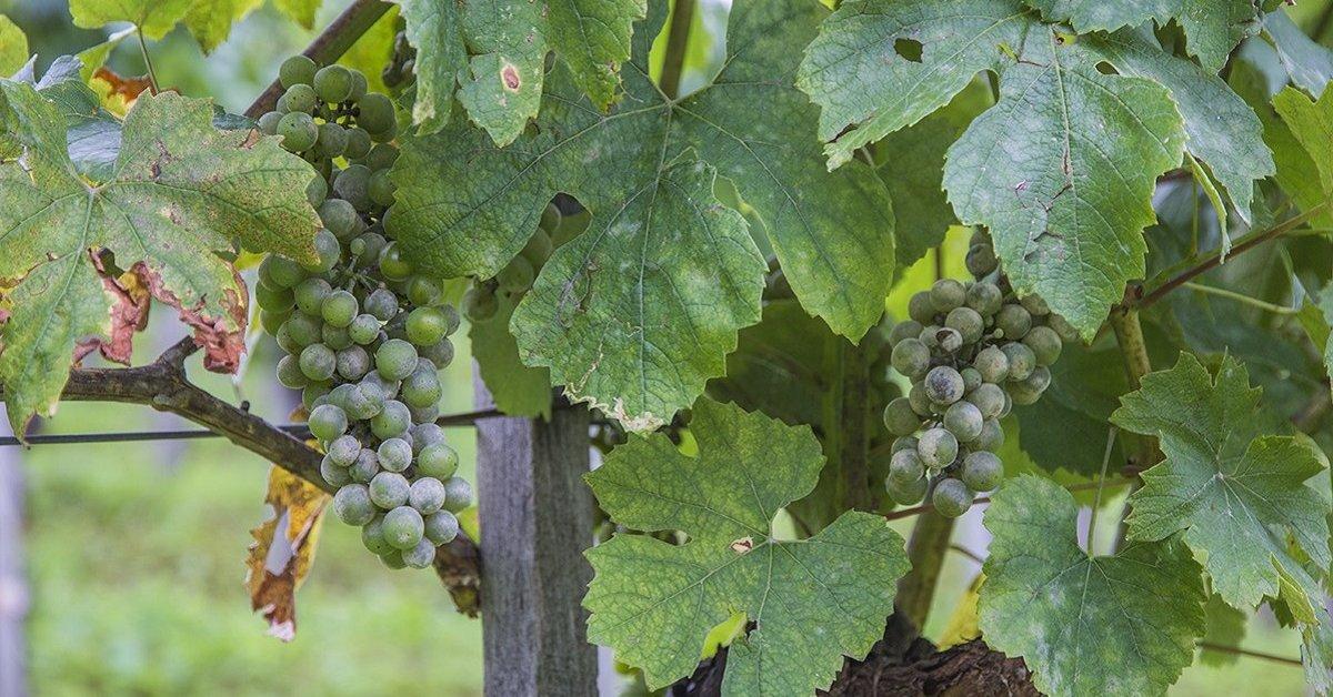 Фунгициды против милдью оидиума на винограде