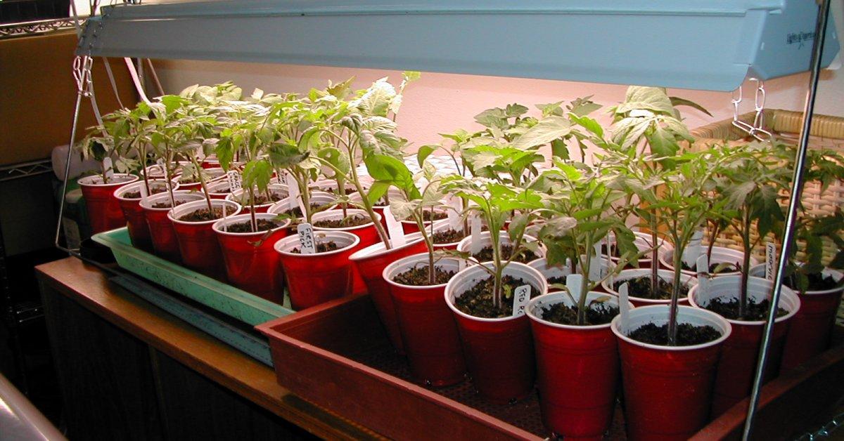 Световой день для рассады томатов