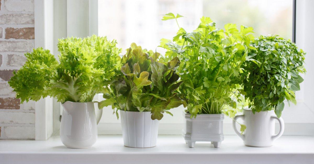 Как выращивать зелень на подоконнике круглый год