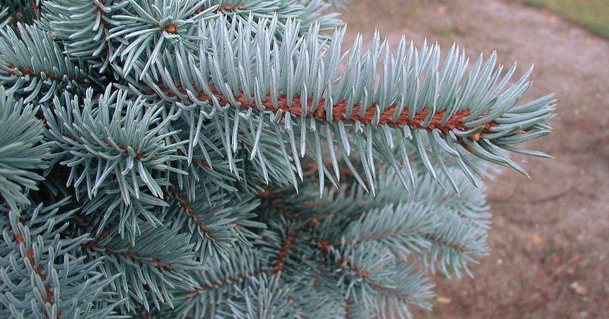 Карликовая голубая ель посадка и уход