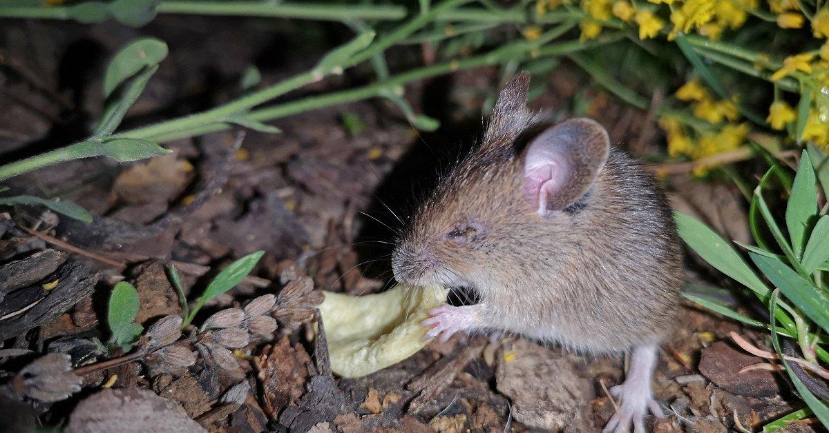 Что отпугивает мышей на даче