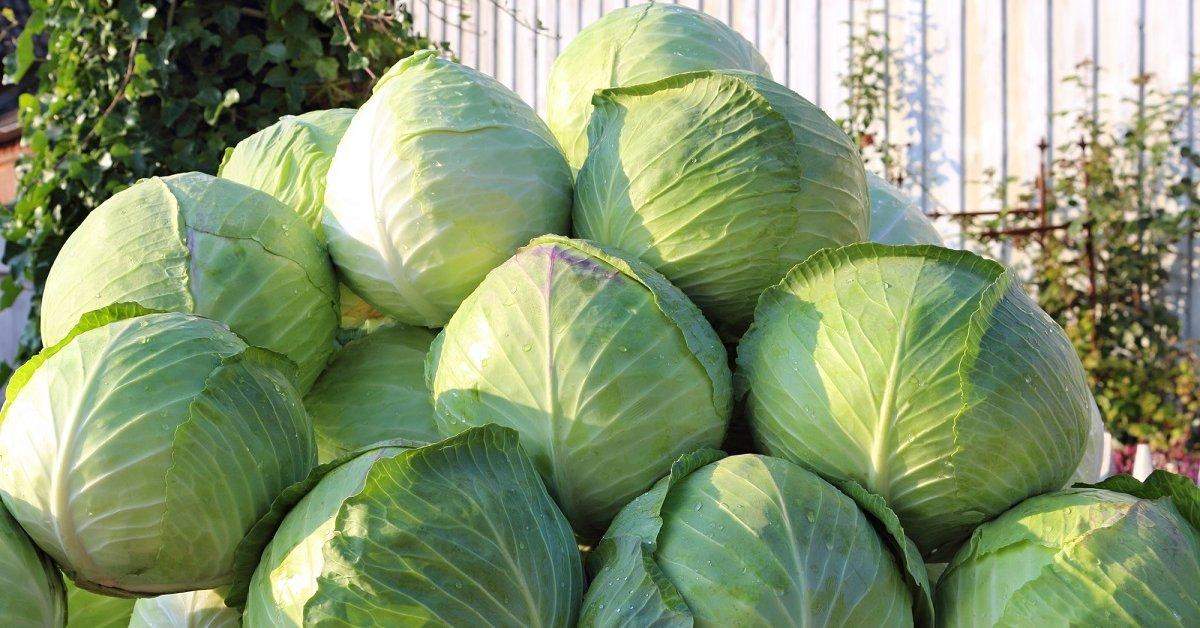 Как лучше хранить свежую капусту в погребе