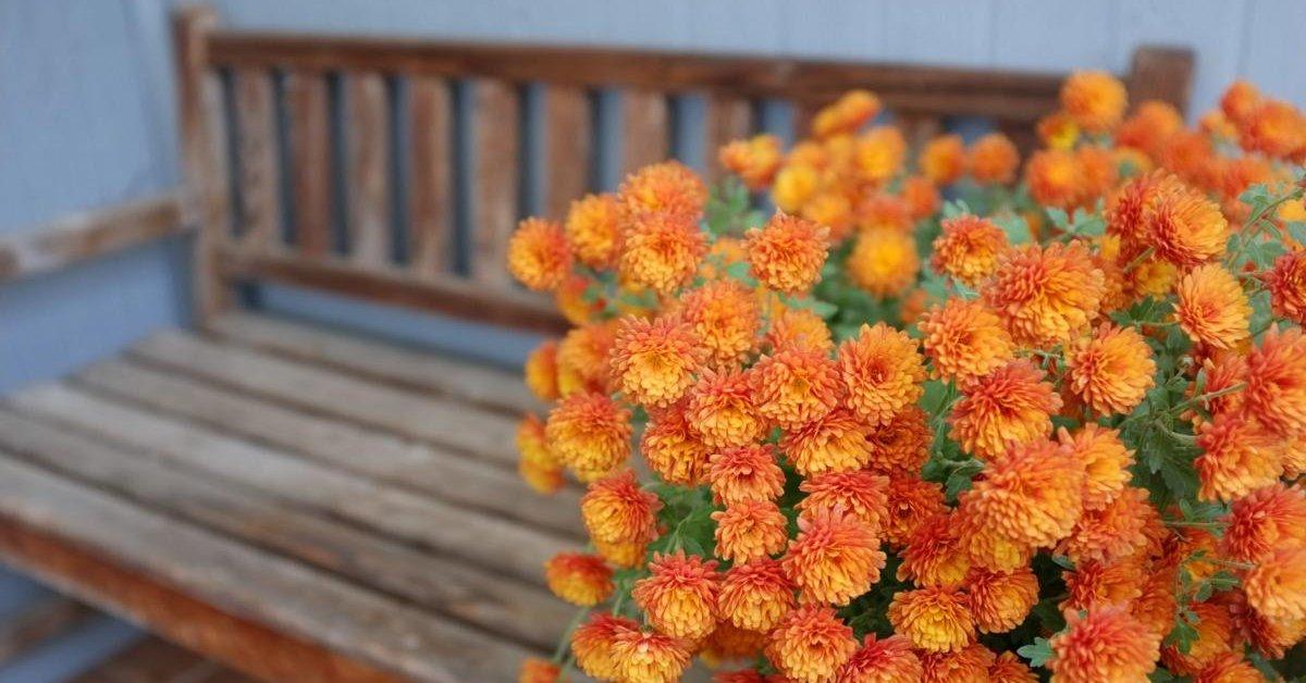 Как хранить хризантемы зимой — проверенные способы