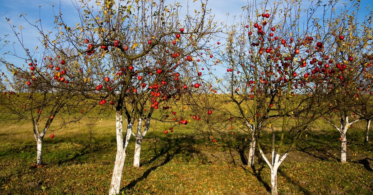Подготовка яблонь к зиме осенью в подмосковье
