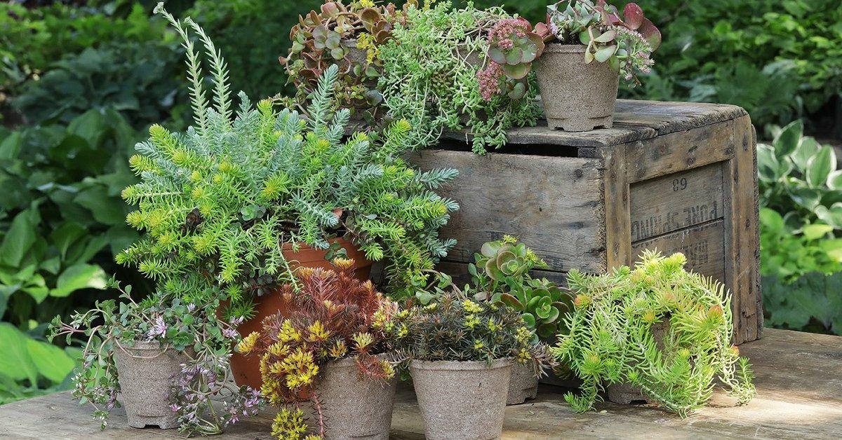 Очиток ложный 39 фото посадка и уход за почвопокровным седумом описание сортов Розеум и Фулдаглут выращивание из семян