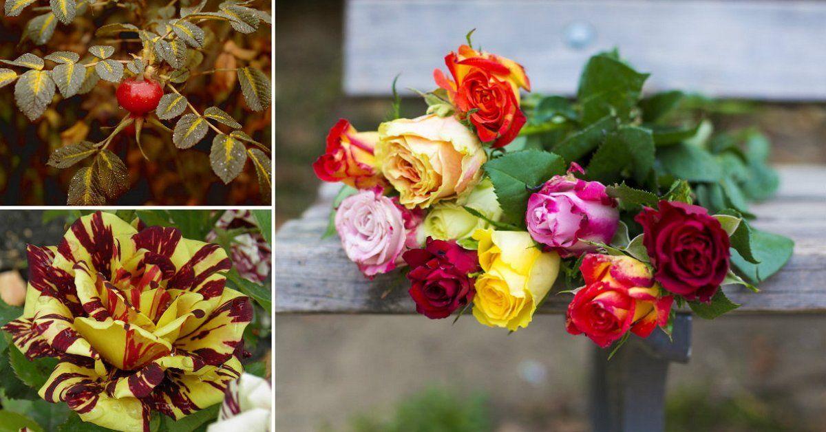 Розы: строение цветов, плодов, листьев и корней