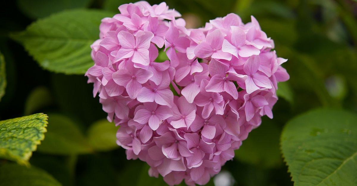 Гортензии в саду – особенности ухода, подбор удачных мест для посадки
