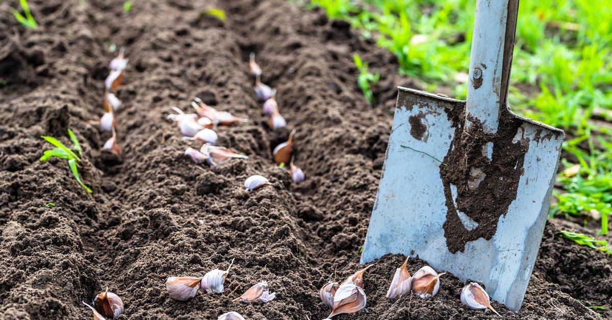 Посадить яровой чеснок весной и получить урожай