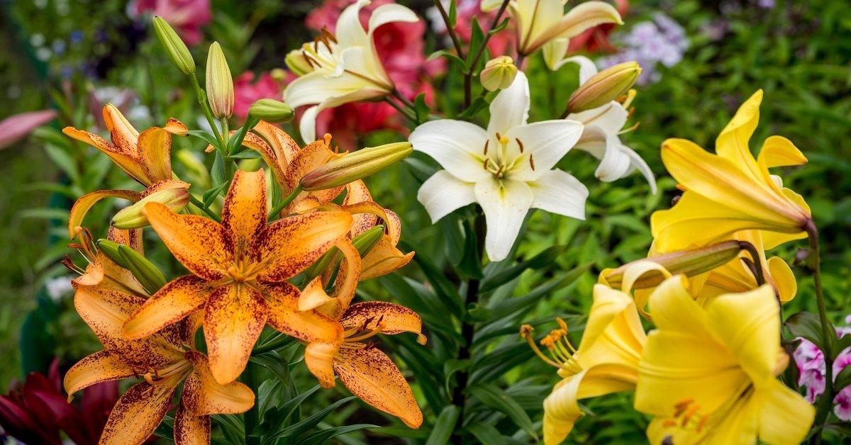 Лилия описание растения
