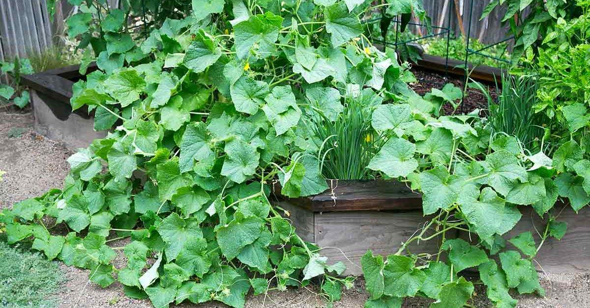 Экономим пространство выращиваем огурцы в мешках
