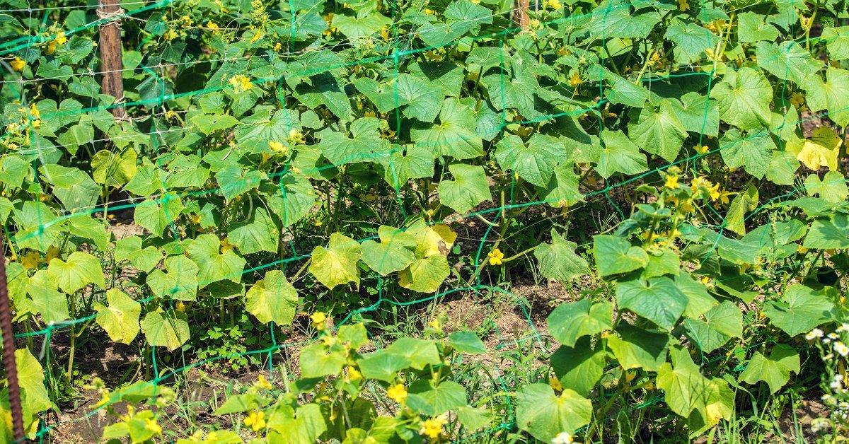 Почему белеют листья у огурцов что делать профилактика