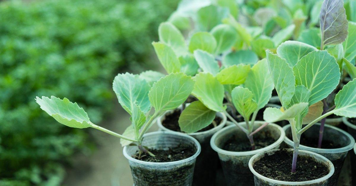 Как вырастить рассаду кольраби в домашних условиях