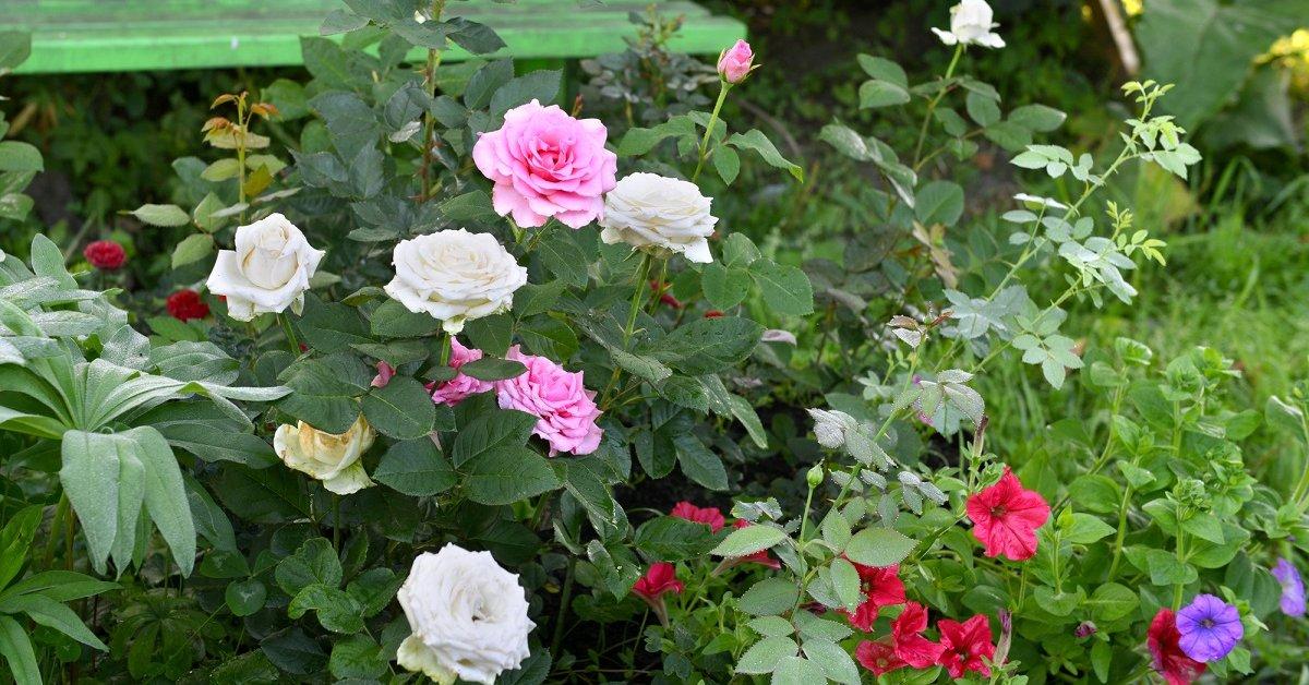 Сочетание роз с другими цветами в саду