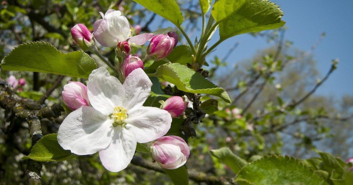 Почему не распускается яблоня, почему не цветет? Что делать, если яблоня не распустилась весной: степень повреждения яблонь