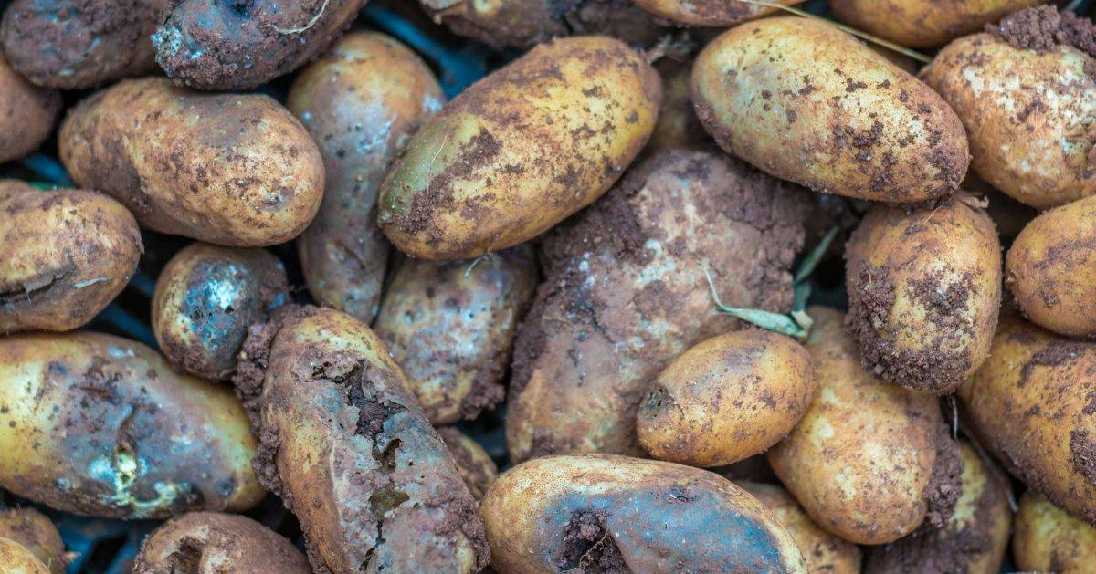 Из-за чего в погребе гниет картофель – 6 самых опасных болезней