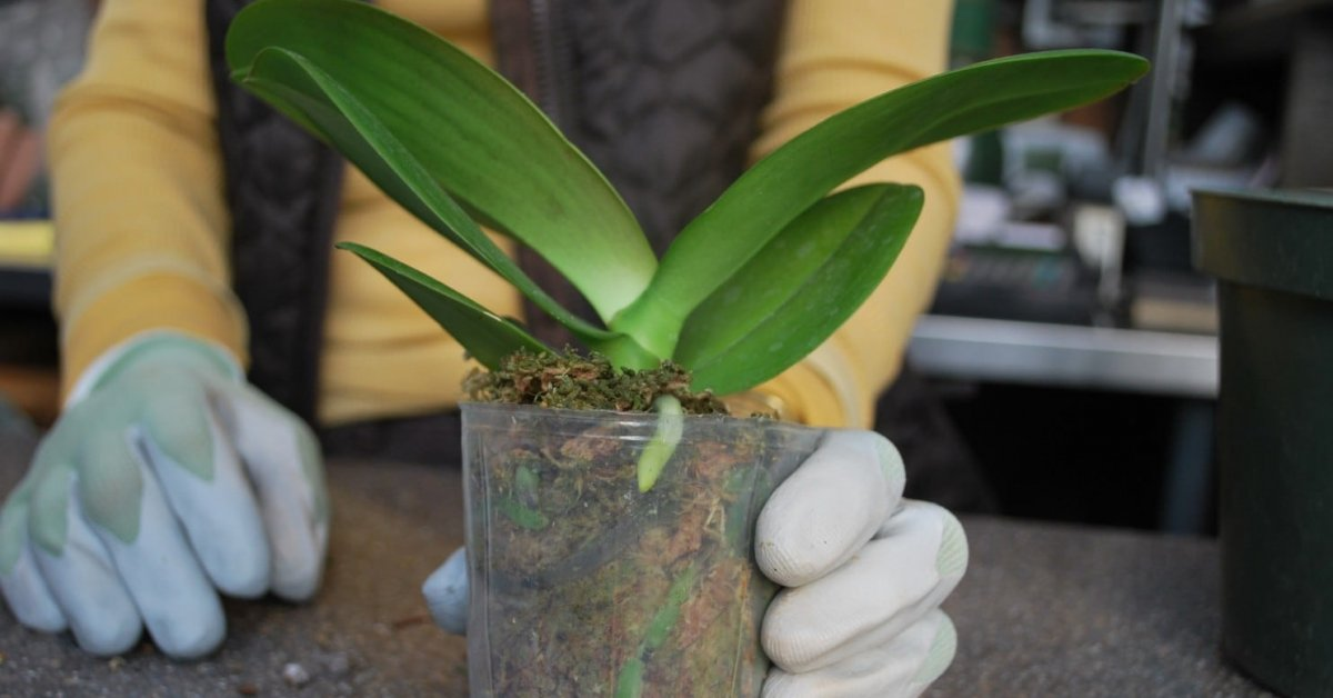 Когда орхидея дает цветонос