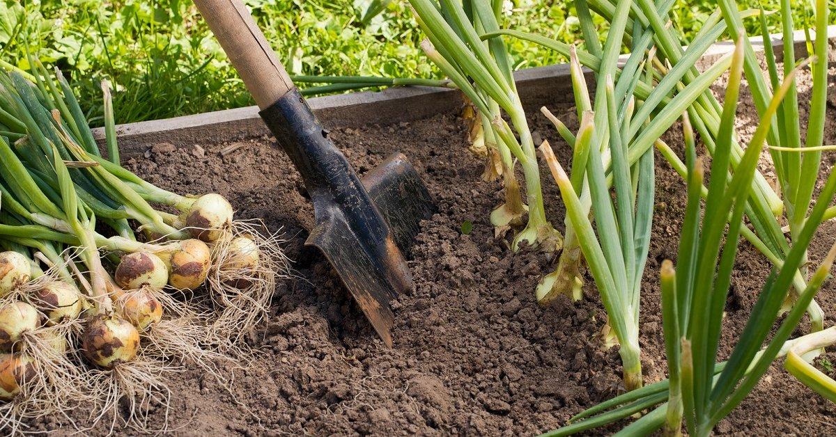 Когда нужно убирать лук с грядки и как его правильно хранить зимой ...
