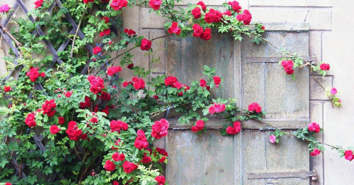 Выращивание плетистых роз на Урале