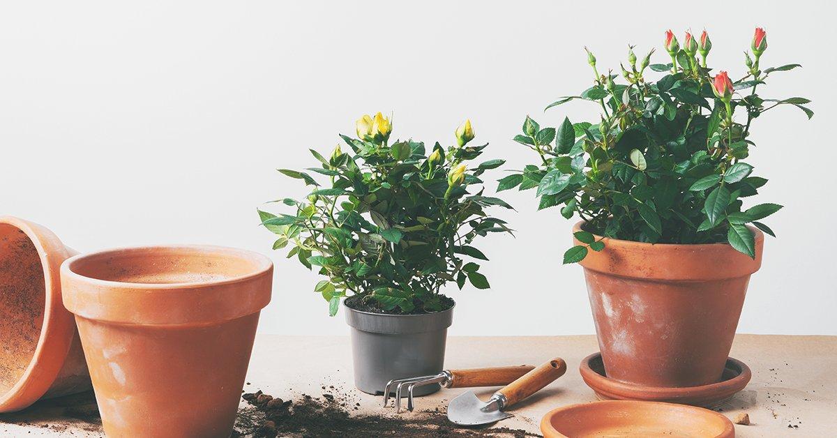 Как выращивать розы в домашних условиях в горшке для начинающих?