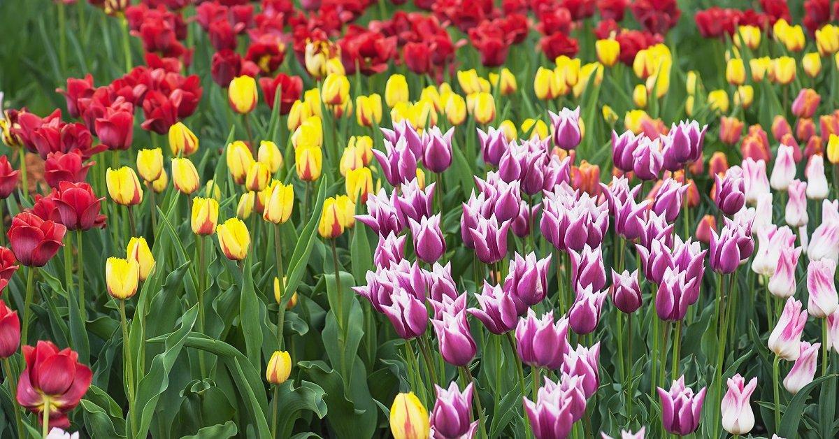 Тюльпаны - 10 ранних сортов. Фото
