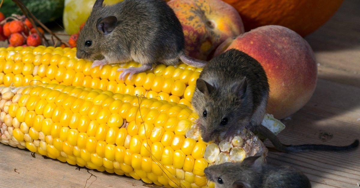 Как избавиться от мышей в доме и на садовом участке