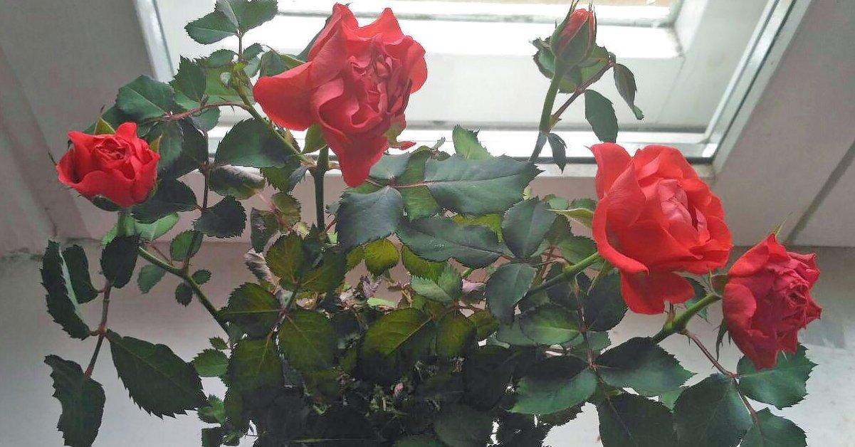 Уход за розами зимой в квартире