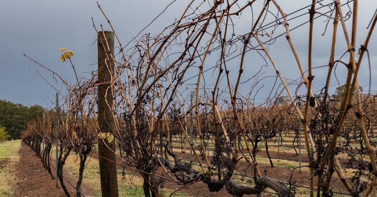 Когда осенью укрывать виноград на зиму