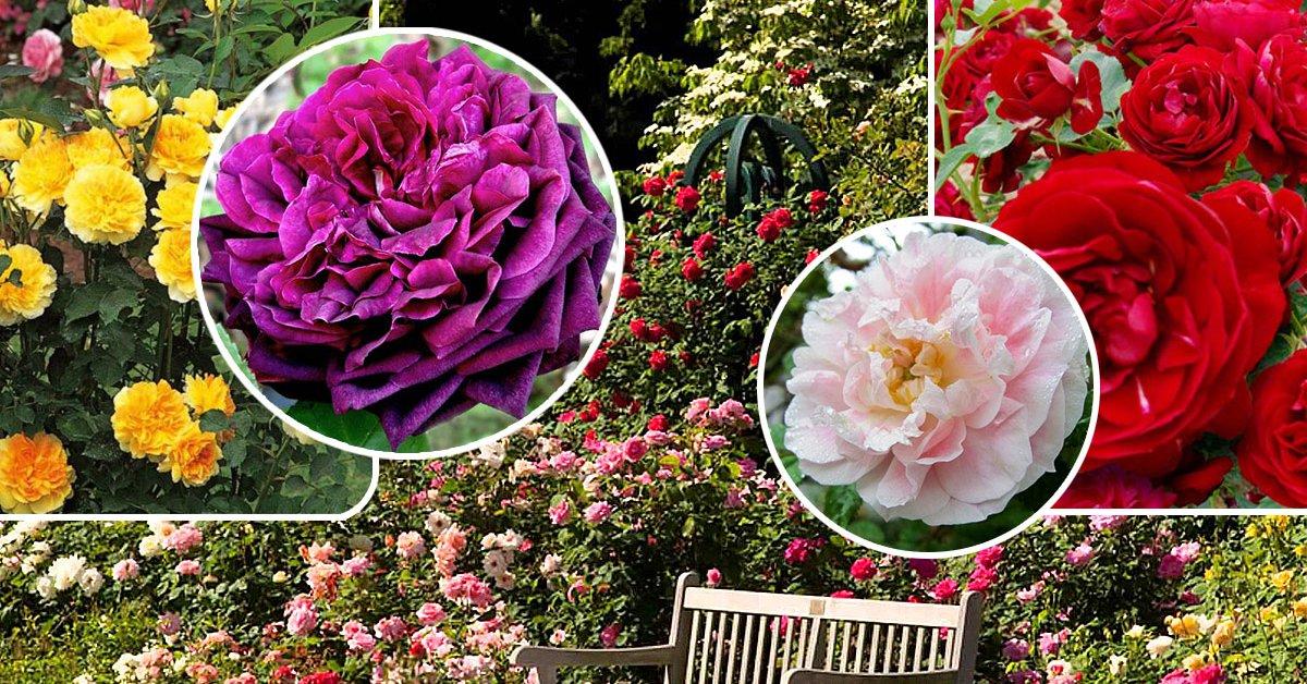 Роза парковая реми мартин — Сад и огород