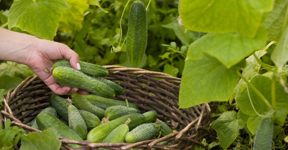Как вырастить высокий урожай огурцов