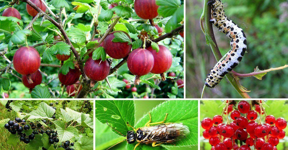 Вредители смородины и меры борьбы с ними