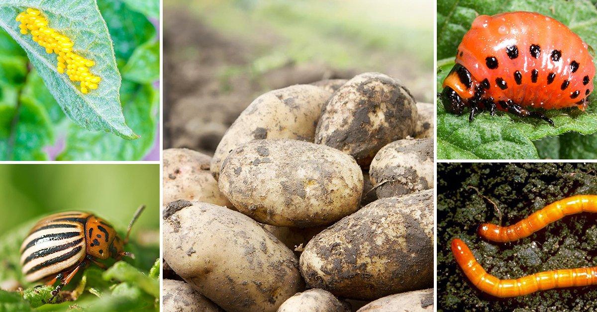 Как правильно обрабатывать картофель