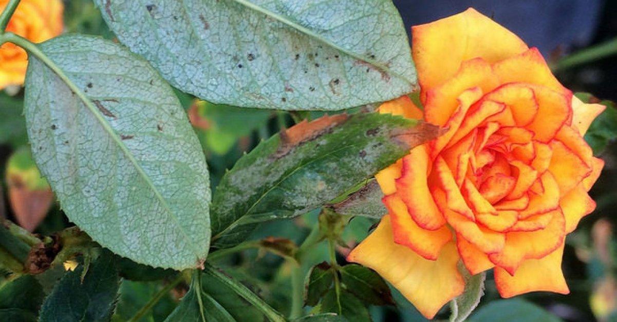 Болезни и вредители роз, средства борьбы