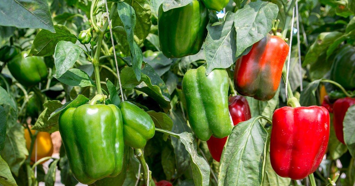 фото грядок помидоров перцев
