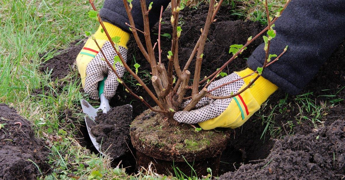 Чубушник: посадка и уход весной, осенью, фото, когда и как сажать, где посадить, когда и как пересаживать
