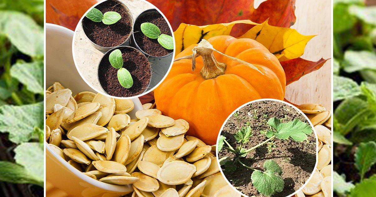 Как выращивать тыкву в открытом грунте семенами? Уход и фото