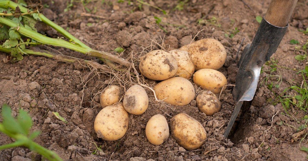 Когда копать картофель после цветения сроки рекомендации