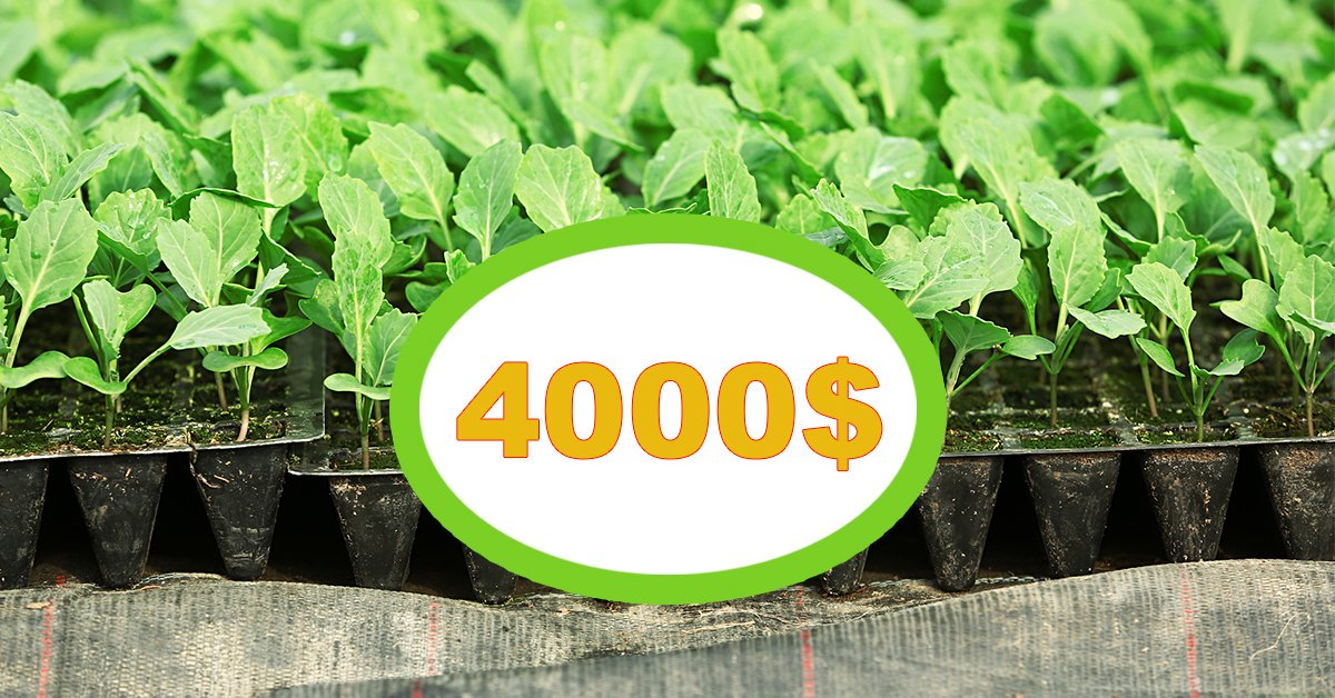 Свой бизнес: выращивание белокочанной капусты