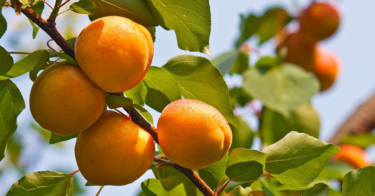 Хорошие сорта абрикоса
