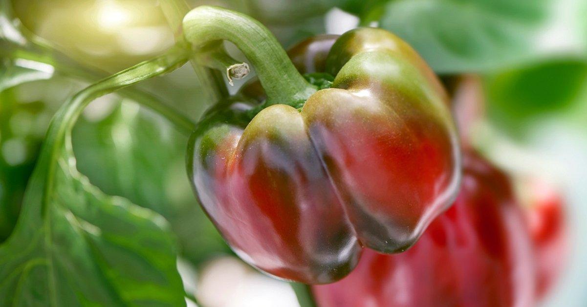 Благоприятные и неблагоприятные соседи сладкого перца: правила соседства