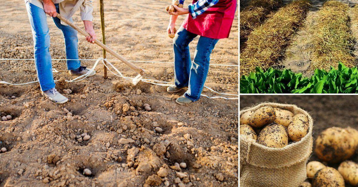 Картофель сажать под зиму 53