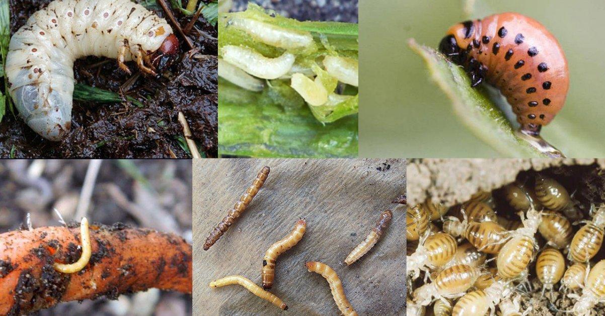 Какое насекомое каждое лето угрожает урожаю картофеля