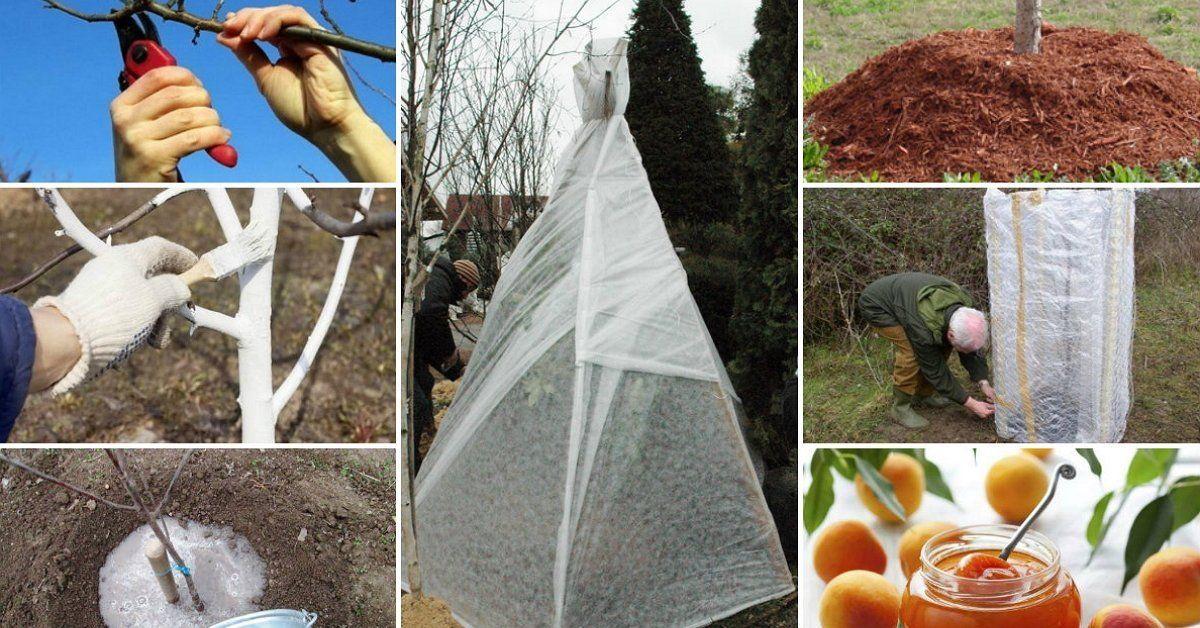 Агроном: Как правильно укрыть абрикос на зиму своими руками в 2019 году