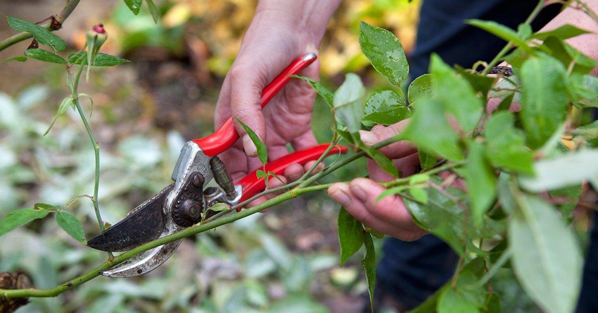 Как подрезать и укрывать розы на зиму
